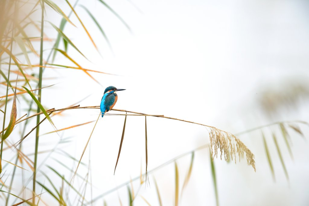 A common kingfisher sits on the reeds waiting for lunch along Lake Neuchatel in Switzerland. The appearance of this bright little bird made this cold, rainy Saturday afternoon at the lake a wonderful day. Kingfishers are small, fast birds and are notoriously difficult to photograph. Usually it takes patience and planning to get good shots. Pierre Watson Schweiz, Thörishaus