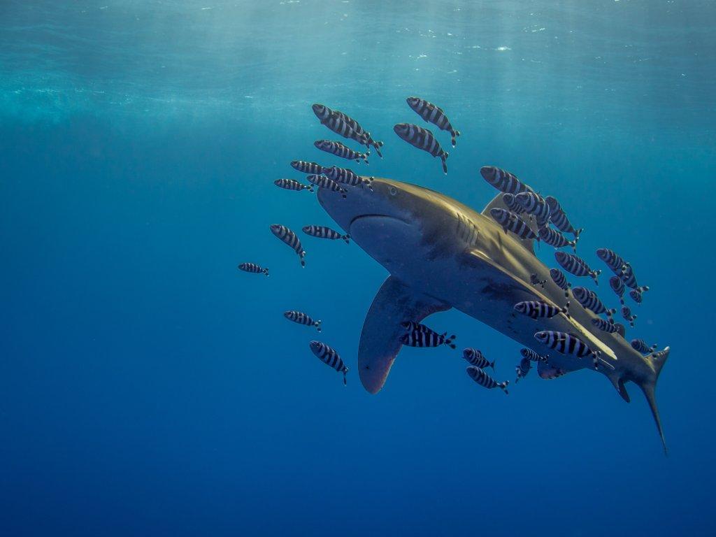 Ein Weissspitzenhochseehai mit seinen kleinen Pilotfischen. Martina Andres Ägypten, Marsa Alam