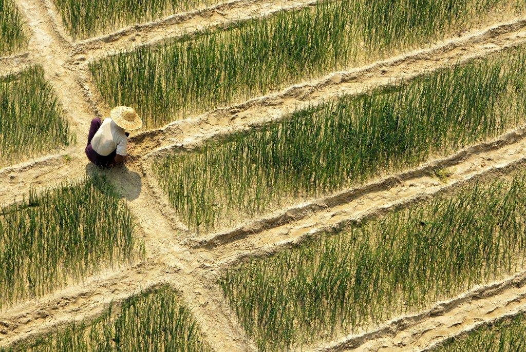 Ein Landarbeiter auf einem Feld in der Nähe von Bagan (Myanmar) an der Arbeit auf einem Reisfeld. Bruno Schmidiger Myanmar, Bagan